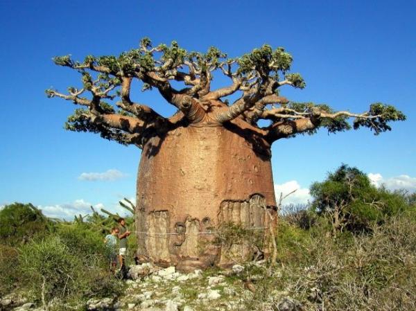 Такие вот необыкновенные деревья растут на острове сокотра, йемен